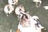 カルガモ(バナー画像)